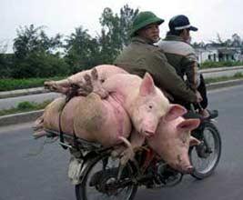 Schweinefahrrad Transport Schweine